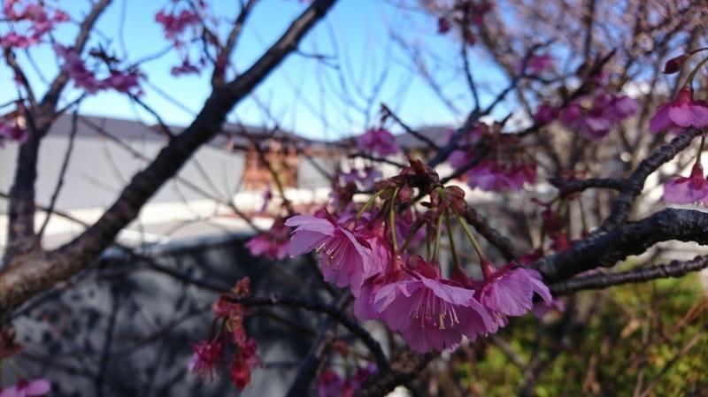 「縁」駐車場脇の土肥桜が開花しております