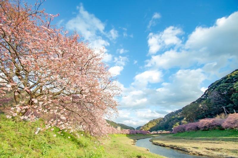 2020.2.6南の桜-02.jpg